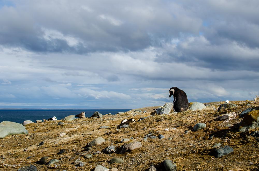 isla magdalena patagonia penguins
